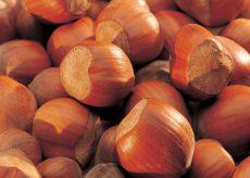 La Guida - Nocciola del Piemonte, varietà pregiata ed apprezzata