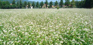 La Guida - Il grano saraceno, raddoppiata la superficie in provincia di Cuneo