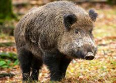 La Guida - Cinghiali, il nemico numero uno per i campi e anche per le porcilaie