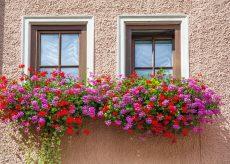 La Guida - Fiori per addobbare il balcone, il geranio