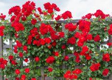 La Guida - Fiori per addobbare il balcone, la rosa rampicante
