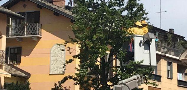 La Guida - Sciame di api sull'albero al centro di piazza dell'Olmo a Boves