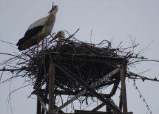 La Guida - A Sant'Albano Stura le cicogne di passaggio hanno deciso di nidificare