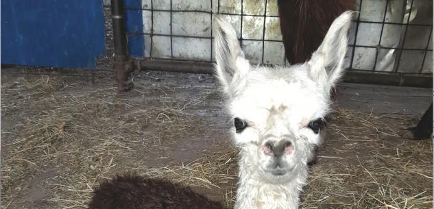La Guida - Ad Ostana è nata una piccola femmina di Alpaca