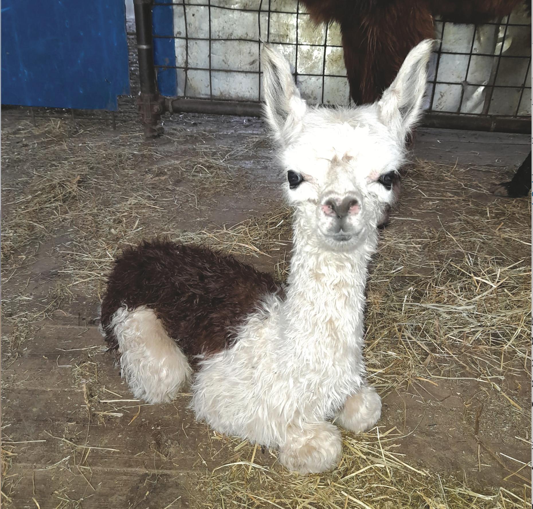 ostana alpaca sei ore dopo nascita