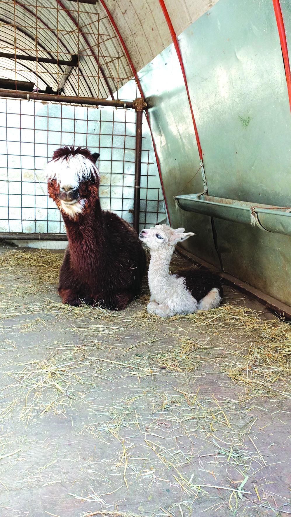 Ostana - L'alpaca Maggy con la mamma