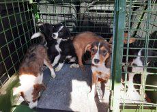 La Guida - Ritrovati a Riforano sette cuccioli abbandonati