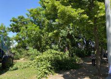 La Guida - In corso l'abbattimento delle piante affette dal tarlo asiatico in Corso Kennedy