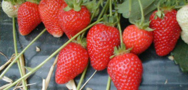 La Guida - Dai Ramassin alle fragole passando per i piccoli frutti e i kiwi