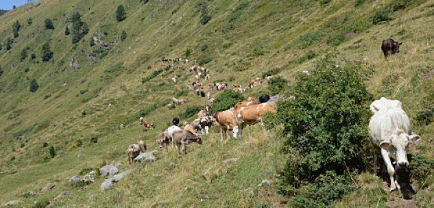 La Guida - Possibile l'alpeggio sulle montagne d'Oltralpe