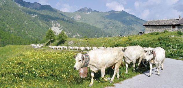 La Guida - Centomila capi bovini verso gli alpeggi sulle montagne di Granda