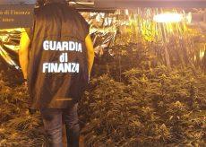 La Guida - Coltivava 100 piante di marijuana in una serra, arrestato (video)