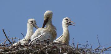 La Guida - I tre cicognini nati nel nido sul palo della luce di Sant'Albano Stura