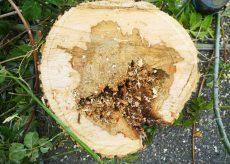 La Guida - Vandali danneggiano 16 alberi ad Alba