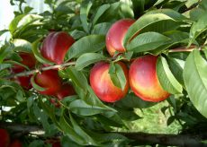 La Guida - In Granda perdite del 60 e 80% nella raccolta di frutta