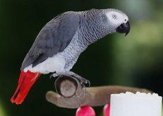 La Guida - Il pappagallino e la guardia zoofila di Cuneo condannata per falso